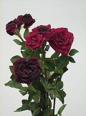 Trandafiri tros D8x5xH60 cm HOB burgundy