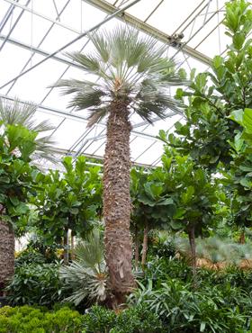 Trithrinax campestris 525 cm Palmier