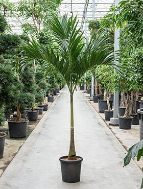 Veitchia (adonidia) merrillii 300 cm Manila Palm - Palmierul Craciun