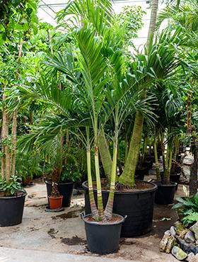 Veitchia (adonidia) merrillii 375 cm Manila Palm - Palmierul Craciun