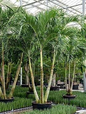 Veitchia (adonidia) merrillii 500 cm Manila Palm - Palmierul Craciun
