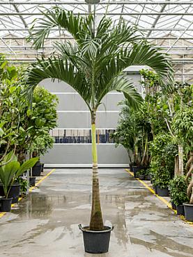 Veitchia (adonidia) merrillii D225xH375 cm Manila Palm - Palmierul Craciun