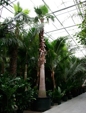 Washingtonia robusta 750 cm Palmier ventilator - California Washingtonia