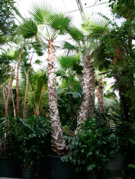 Washingtonia robusta 800 cm Palmier ventilator - California Washingtonia