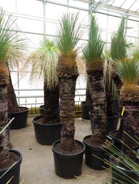 Xanthorrhoea glauca 235 cm Copacul iarba