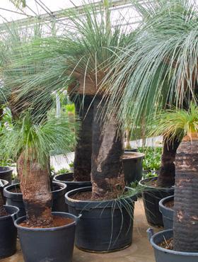 Xanthorrhoea glauca zan bleu 260 cm Copacul iarba