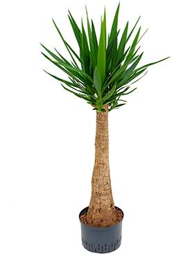 Yucca 180 cm Arborele vietii