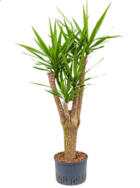 Yucca D75xH150 cm Arborele vietii