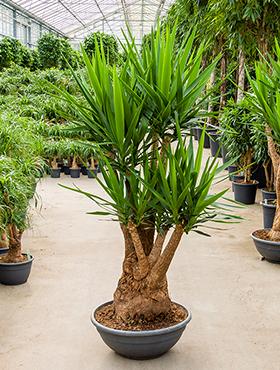 Yucca elephantipes 200 cm Arborele vietii