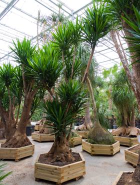Yucca elephantipes 500 cm Arborele vietii