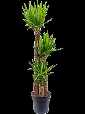 Yucca elephantipes D50 X H160 cm Arborele vietii