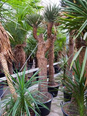 Yucca filifera 290 cm Arborele vietii
