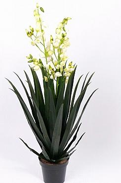 Yucca inflorita 130 cm